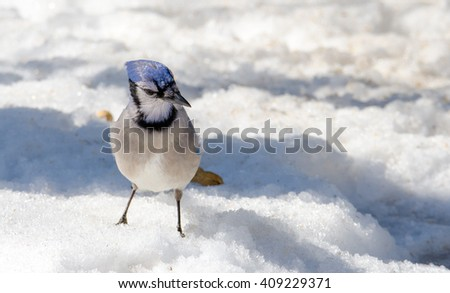 Blue Jay (Cyanocitta cristata) on melting springtime corn snow, attracted by offerings of peanuts, a favorite treat. - stock photo