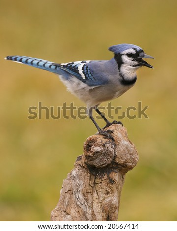 Blue jay (Cyanocitta cristata) perch screaming. - stock photo