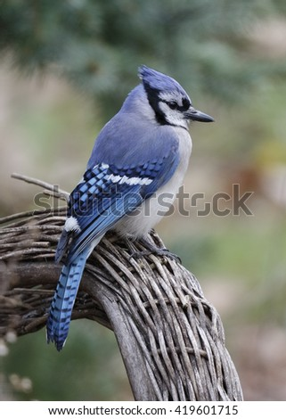 Blue Jay (Cyanocitta cristata) perched on a wicker chair - Ontario, Canada - stock photo