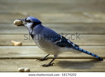 Blue Jay eating a peanut - stock photo