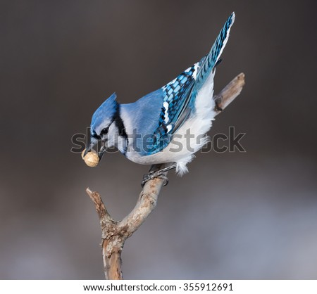 Blue Jay Holding a Peanut in Winter - stock photo