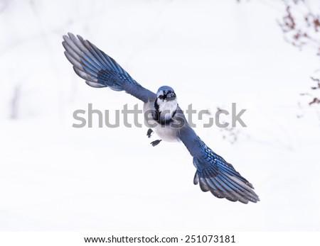 Blue Jay in Flight in Winter - stock photo