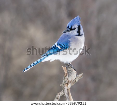 Blue Jay in Winter - stock photo
