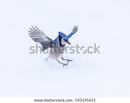 Blue Jay Landing on Snow in Winter