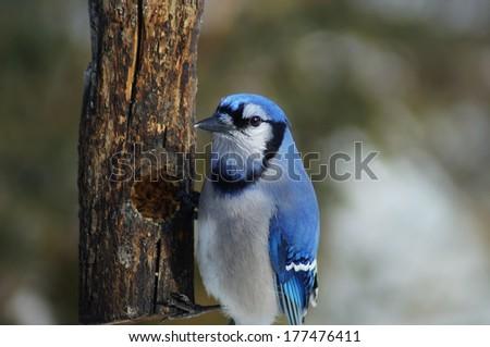 Blue Jay on bird feeder                                - stock photo