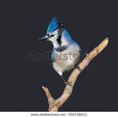 Blue Jay on Dark Gray Background - stock photo