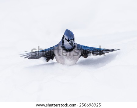 Blue Jay on Snow in Winter - stock photo