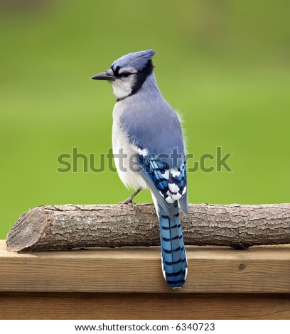 Blue jay perched on a deck rail.
