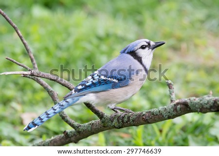 Blue jay perched on a lichen covered tree branch. - stock photo