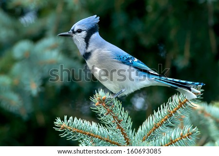 Blue Jay perched on a Spruce Tree branch.