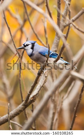 Blue Jay Perched on a Tree Branch in Autumn - stock photo