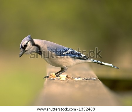 Blue jay perched on a wooden railing.