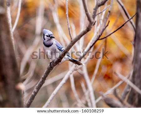 Blue Jay Perched on Woodland Tree Branch - stock photo