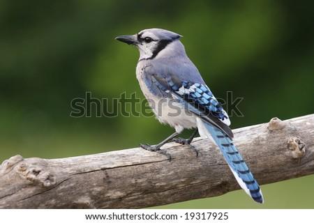 Blue Jay resting on a tree limb. - stock photo