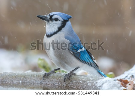 Blue Jay sitting on a bird bath during a winter snow.