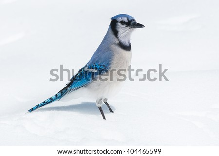 Blue Jay standing in the snow.