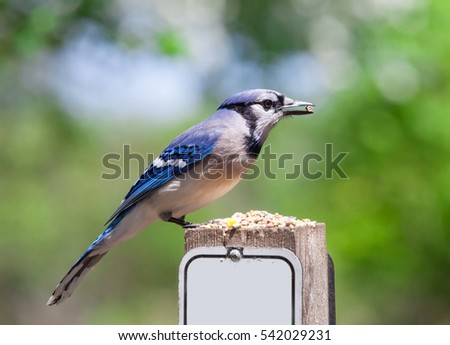 Blue Jay Standing on fence with trees behind