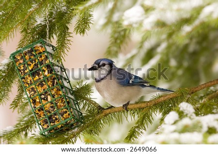 Blue jay visits a suet feeder - stock photo