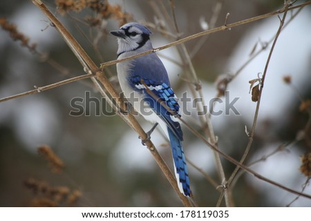 blue jay waiting for food - stock photo