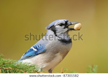 Blue jay with peanut in its beak