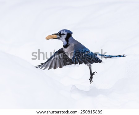 Blue Jay with Peanut in Winter - stock photo