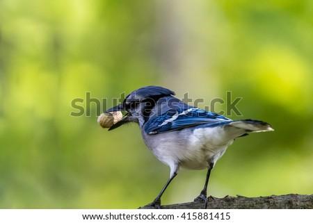Blue Jay with peanuts  - stock photo
