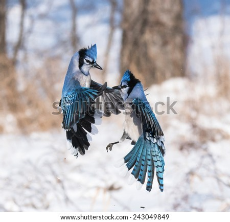 Blue Jays fighting for the food - stock photo
