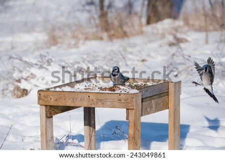 Blue Jays in Winter - stock photo