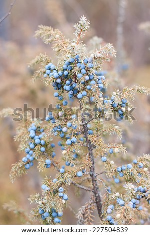 Blue juniper on bush. Yakutia, Siberia. Russia - stock photo