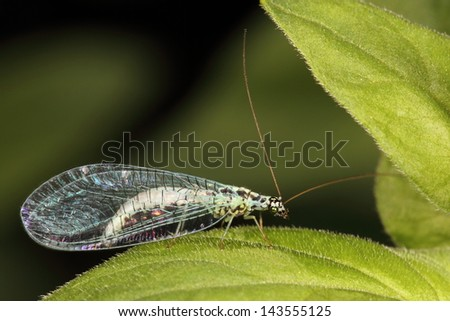 Blue lacewing
