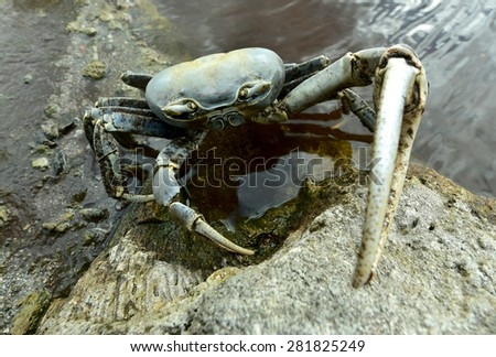 Blue Land Crab (Cardisoma Guanhumi) Mangrove Land Crab likely to be Cardisoma guanhumi Maria La Gorda Guanahacabibes UNESCO Biosphere Reserve Cuba Caribbe  - stock photo