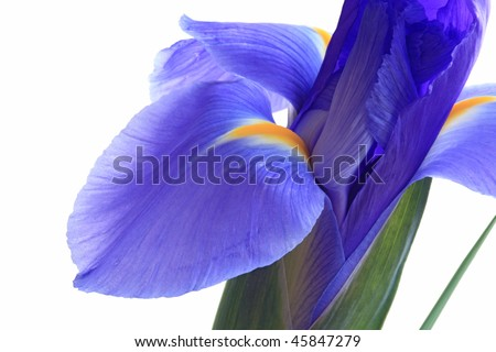 Blue lila iris flower isolated on white - stock photo