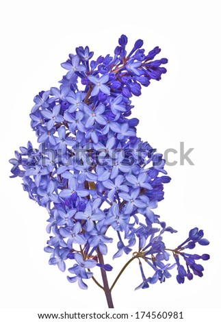 blue lilac flowers isolated on white background - stock photo
