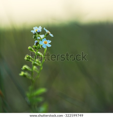 blue little soft meadow wild flower on green dark background in field in evening. Outdoor natural autumn photo - stock photo