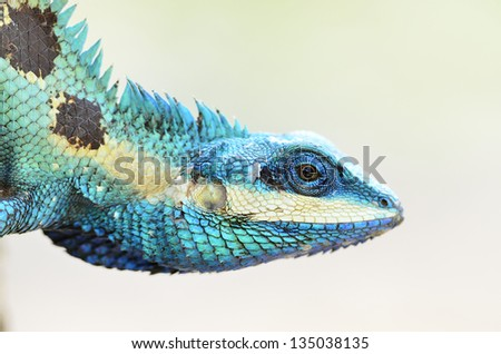 Blue lizard and green lizard (lacerta viridis), beauty colorful - stock photo