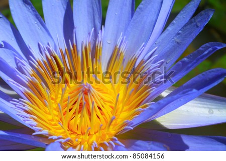 Blue lotus - stock photo