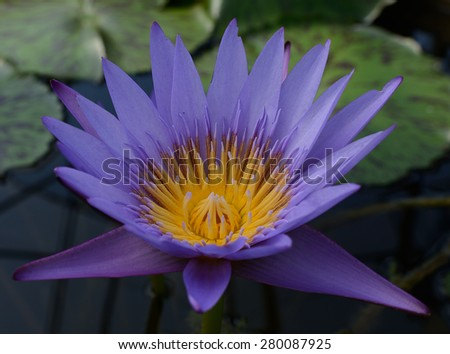 Blue lotus petals and purple pollen  - stock photo