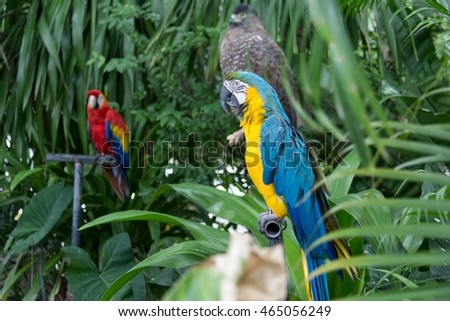 blue Macaw in front of red Macaw