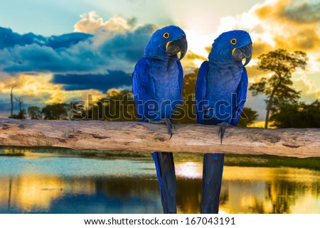 Blue Macaw in Pantanal, Brazil - stock photo
