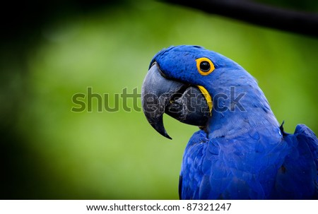 Blue Macaw parrot - stock photo