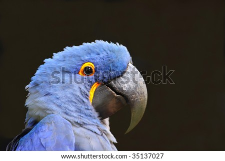 Blue Macaw (Parrot) with dark background - stock photo