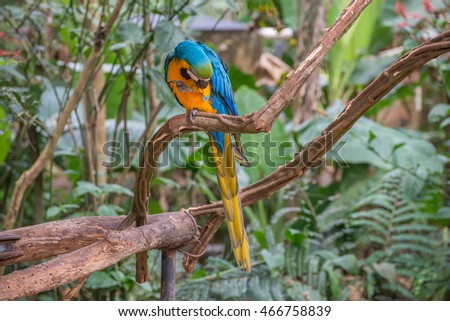 Blue macaw parrots bird on a tree branch in Brazil