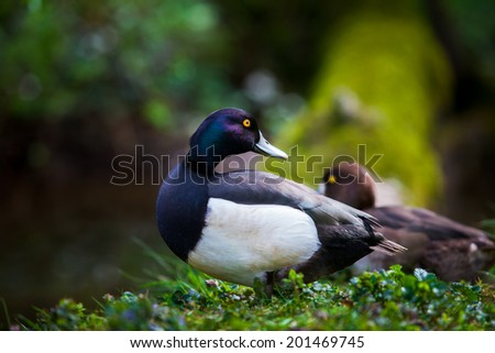 Blue male duck standing before a vibrant background - stock photo