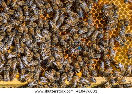 Blue marked queen bee of the honey bees (Apis mellifera) on the wax comb - stock photo