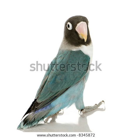 Blue Masked -Agapornis personata Lovebird in front of a white background