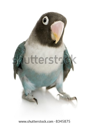 Blue Masked -Agapornis personata Lovebird in front of a white background - stock photo
