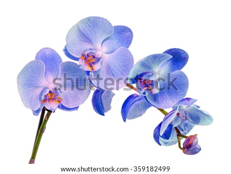 Blue, mauve, violet branch orchid  flowers, Orchidaceae, Phalaenopsis known as the Moth Orchid, abbreviated Phal. Close up, isolated, white background. - stock photo