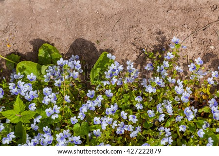 Blue meadow flowers forget-me-not and ground. Myosotis scorpioides on wall or floor land. Top view on the grass with flowers - stock photo