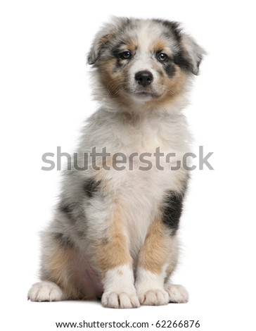Blue Merle Australian Shepherd puppy, 10 weeks old, sitting in front of white background - stock photo