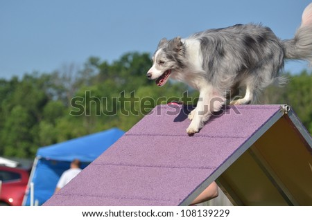 Blue Merle Border Collie Climbing an A-frame at a Dog Agility Trial - stock photo